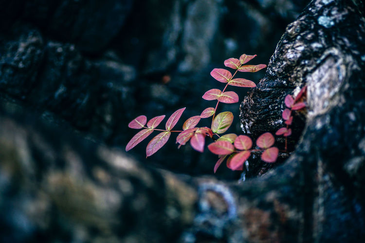 Close-up Shot of Small Red Leaves Plant Beauty In Nature Growth Nature Close-up Outdoors Day Plant Plants Tropical Tree Tropical Plants Tropical Plant Tropical Plant Detail Tropical Greenery Foilage Tropical Foilage Botanical Tropical Botany Tropical Leaves Green Leaves Plant Leaves
