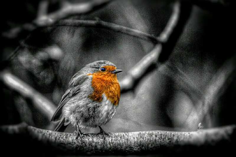 The Great Outdoors With Adobe Robin Winter Bird Lightroom Nature Woodland Walk Nature_collection Natures Magic Exceptional Photographs Our Best Pics EyeEm Nature Lover EyeEm Best Shots EyeEm Best Shots - Nature EyeEm Gallery WoodLand Birds Of EyeEm  Song Birds The Great Outdoors - 2016 EyeEm Awards EyeEm Birds EyeEm Animal Lover Bird Cute Colour Of Life Forest Photography Fine Art Photography Welcome To Black Perspectives On Nature Black And White Friday