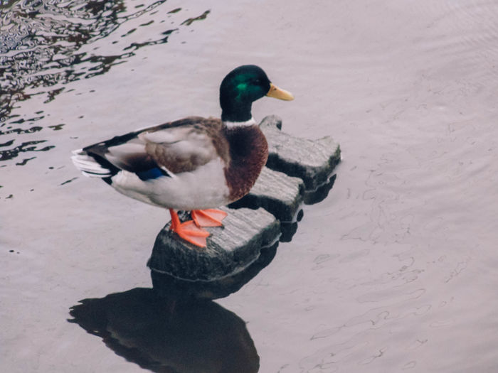 High angle view of mallard duck on snow