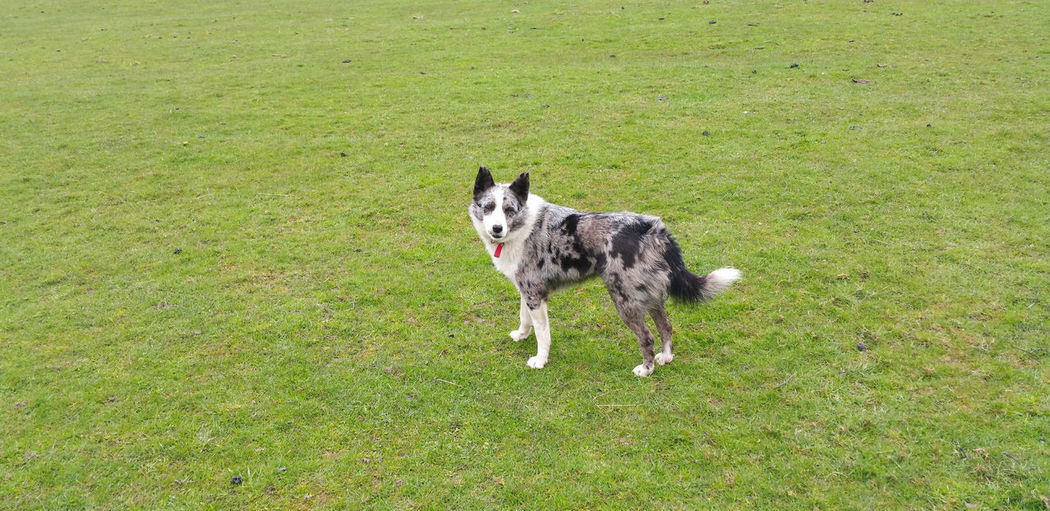... just a Dog ... Animal Themes Mammal Domestic Animals One Animal Pets Green Color Portrait Day Field Outdoors Grass Nature No People Sheepdog Wales Merle Blue Merle Blue Merle Dogs Border Collie Cute овчарка собака Pasture