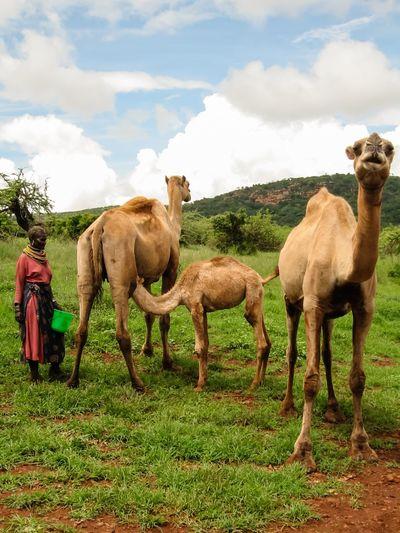 Camel Camels Camels Milk Milking Milking Time Milking A Camel Objection Mind Your Own Business Kenya Africa African African Landscape