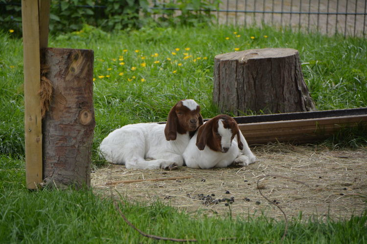 Goats resting on grass