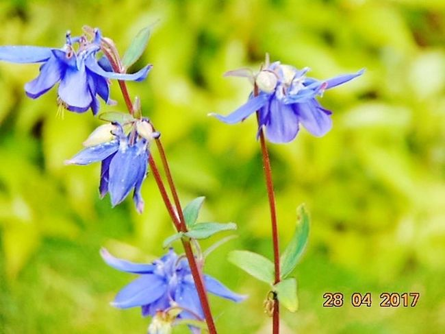 Beauty In Nature Day No People Close-up St Agnes Outdoors Blue Blooming Aqualegia Flowers