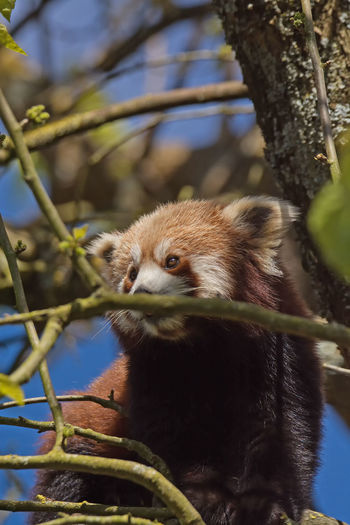 Animal Head  Animal Themes Beauty In Nature Branch Close-up Day Focus On Foreground Green Green Color Growth Mammal Nature No People Outdoors Panda Perching Red Panda Roux Selective Focus Tree Tree Trunk Wildlife