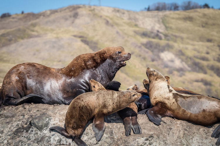 Group of sea lions on rock at sea