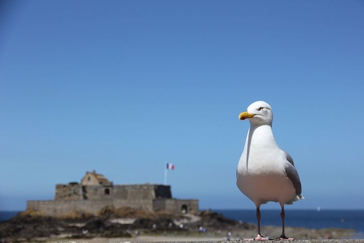 Möwe vor granzösischer Burg und Fahne Bretagne Sea France St. Malo Animal Themes Bird Animal Animals In The Wild Vertebrate Sky Animal Wildlife One Animal Blue Clear Sky Seagull Building Exterior Nature No People Architecture Built Structure