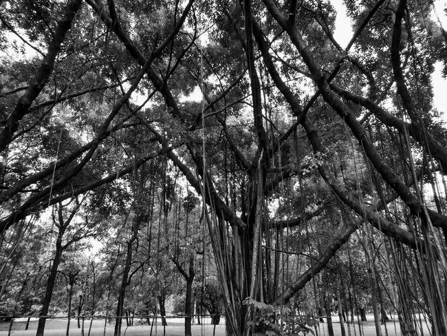 Black And White Photography Black And White Tree Black And White Tree Trunk Tree Photography Tree View Low Angle View Banyan Banyan Tree Banyan Root Banyan Tree Roots Banyan Tree Trunk Black And White Tree In The Park The Park Big Tree Big Truck Nature Photography Tree In Nature Tree Tree Trunk