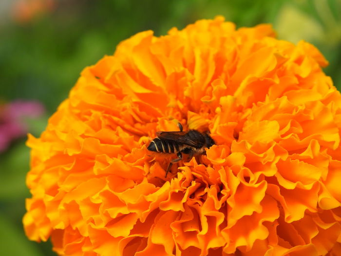 Flower Petal Freshness Insect Nature Beauty In Nature Fragility Outdoors Flower Head No People Plant Animals In The Wild One Animal Close-up Marigold Animal Themes Flower Insects Insect Photography Insect Flower Orange Color Flower Orange Orange Flowers 😍🌺🌺🌺 Orange Flowers🌺 Insects🐝🐝🐝 Insectos De España