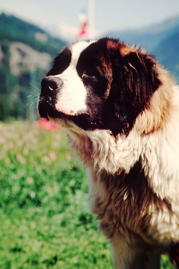 Close-up of saint bernard looking away while standing on field