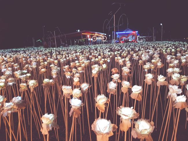Thousands of roses ❤ Abundance Outdoors Large Group Of Objects Illuminated Music Arts Culture And Entertainment