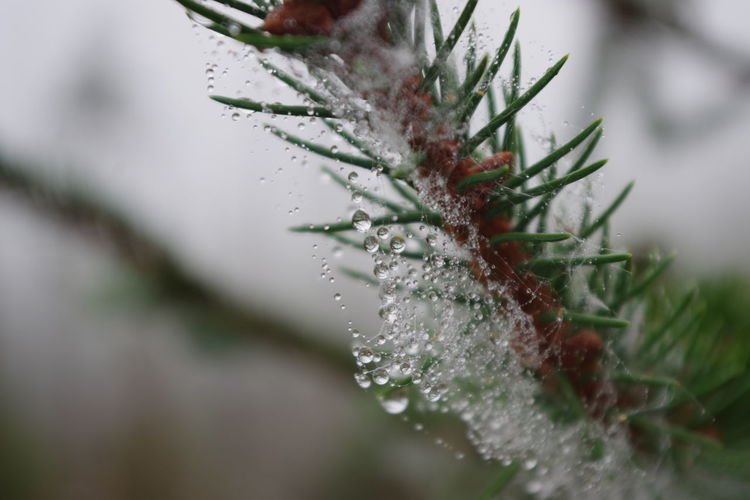 Close-up of raindrops on pine tree during winter