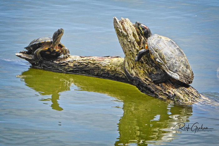 Not bird-related but I like this shot of red-eared sliders Sunning themselves on a log at The Golden Gate Park in San Francisco, CA USA Red-eared Slider Turtles Water Reptile Animal Lake Animal Themes Vertebrate Crocodile Animal Wildlife Reflection Nature Day Animals In The Wild Waterfront