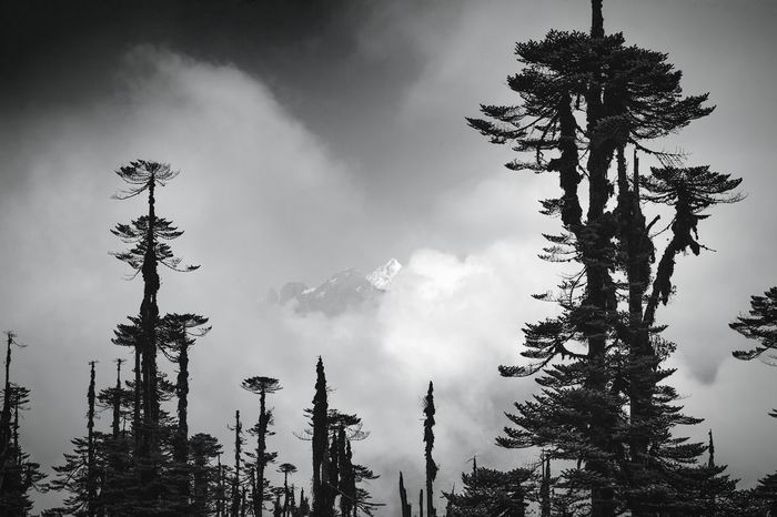 5 hours climb up the Rhododendron forests of Ravangla in the heart of Sikkim one of the 7 Himalayan Kingdoms. This is what the trees look like at 3200m. In the background beyond the clouds the majestic peak of Kanchenjunga (8586m), the third highest mountain of the Himalayas and of the world. Monochrome Black & White EyeEm Nature Lover EyeEm Best Shots - Black + White Landscapes With WhiteWall Great Outdoors With Adobe The Great Outdoors With Adobe The Great Outdoors - 2016 EyeEm Awards Fine Art Photography