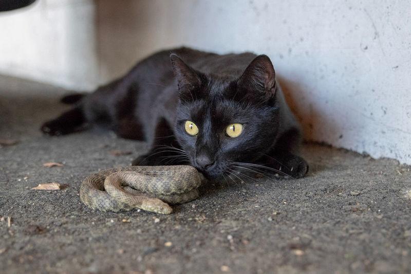 Portrait of black cat resting on floor
