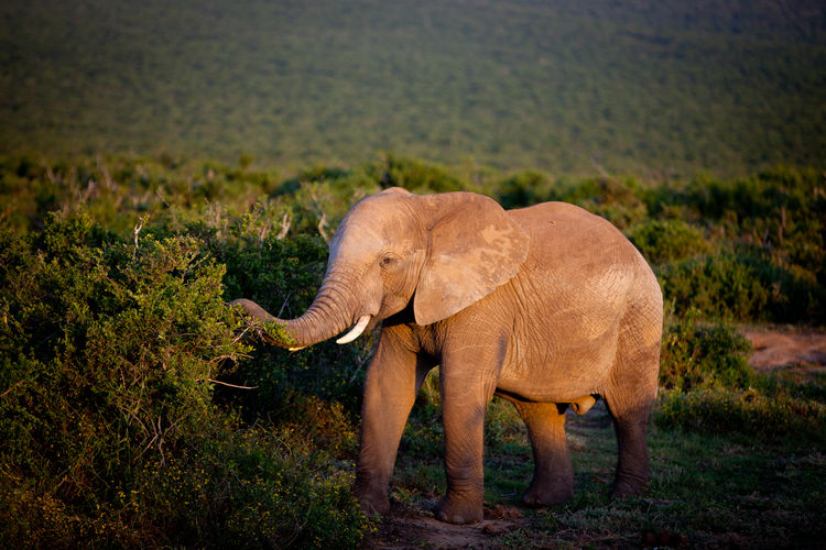 Side view of elephant standing on landscape