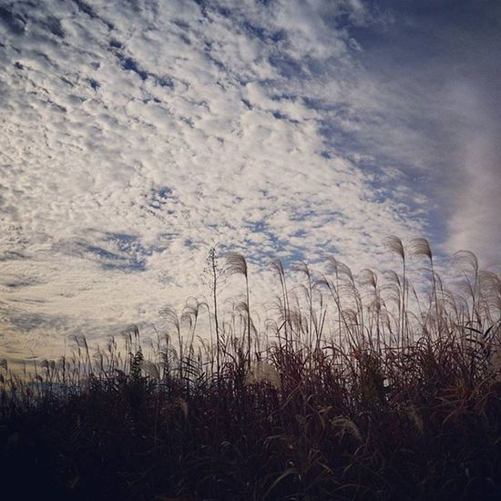 秋の終わり 淀川河川公園 大阪 OSAKA Japan Osakawalk Autumn Autumnlove Autumnsky 薄 Sky Cloud カコソラ Riverside River 鱗雲 鱗