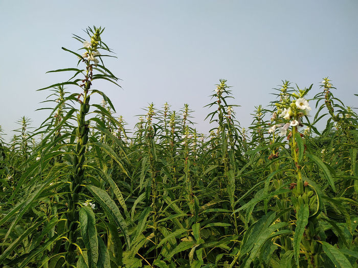 Low angle view of corn field against clear sky
