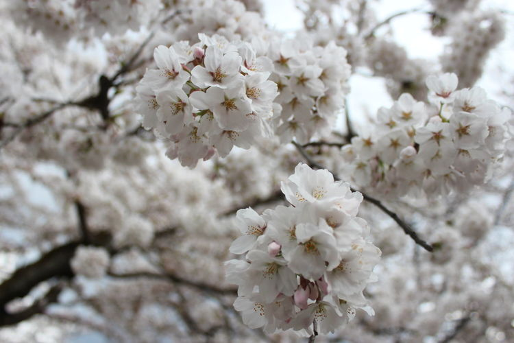 Sakura Time in