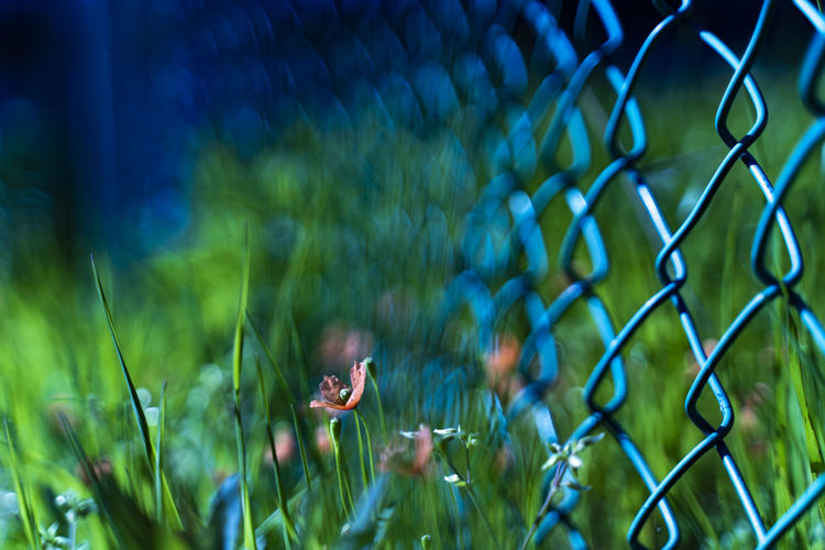 Papaver dubium Grass Nature Plant Growth No People Field Close-up Green Color Fence Beauty In Nature Flowering Plant Selective Focus Focus On Foreground Land Flower Day Chainlink Fence Outdoors Boundary Barrier Small Softness