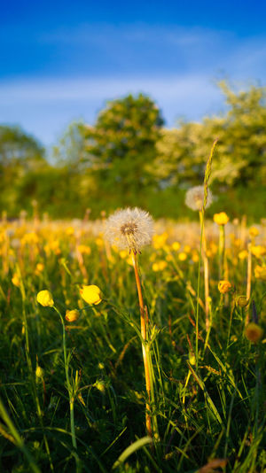 Close-up of yellow dandelion flower on field