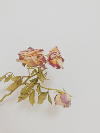 faded rose White Background Plant Flower Studio Shot Close-up Copy Space Flowering Plant Nature Plant Part Indoors  Leaf Beauty In Nature Freshness Growth Petal Flower Head EyeEmNewHere