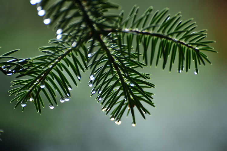 Plant Leaf Green Color Plant Part Nature Close-up Growth Focus On Foreground Beauty In Nature No People Tree Wet Water Outdoors Branch Drop Day Tranquility Rain RainDrop Leaves Dew Purity Coniferous Tree Palm Leaf