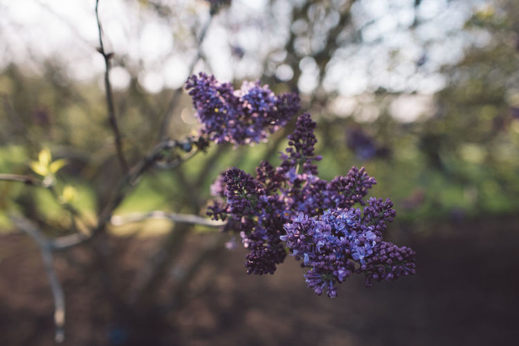 Flowering Plant Flower Plant Purple Beauty In Nature Growth Freshness Vulnerability  Fragility Close-up Nature Focus On Foreground Day No People Tree Outdoors Botany Lavender Selective Focus Field Flower Head Lilac