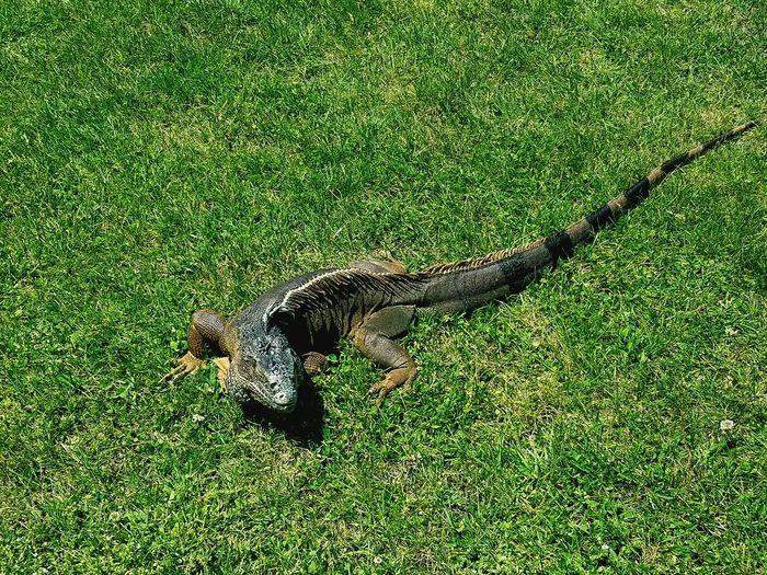 Ancient iguana