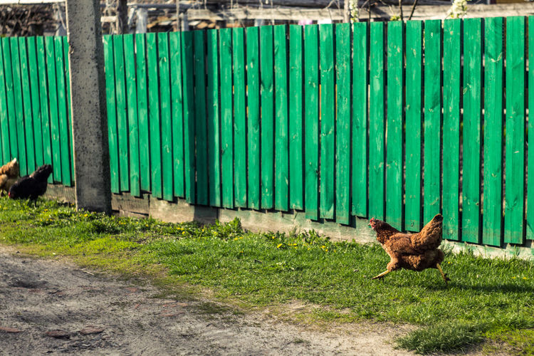 View Of Chickens Fenced In
