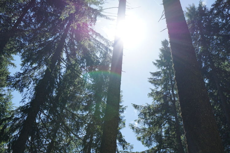 Tree Forest Pine Tree Pinaceae Growth Nature Outdoors Tree Trunk Day Beauty In Nature No People Sunlight Sky Tree Area Landscape Plant First Eyeem Photo Nofilter Summer Beauty In Nature Green Color WoodLand Sun Tree Trunk Sunlight