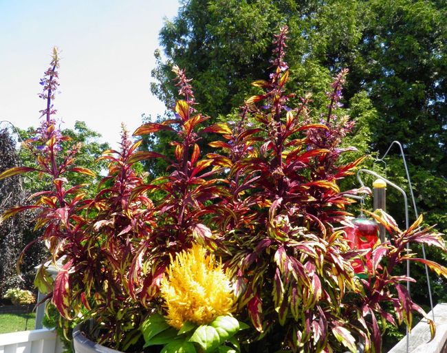 Multicolored Flowers Beauty In Nature Outdoors daytime Blooming Close-up