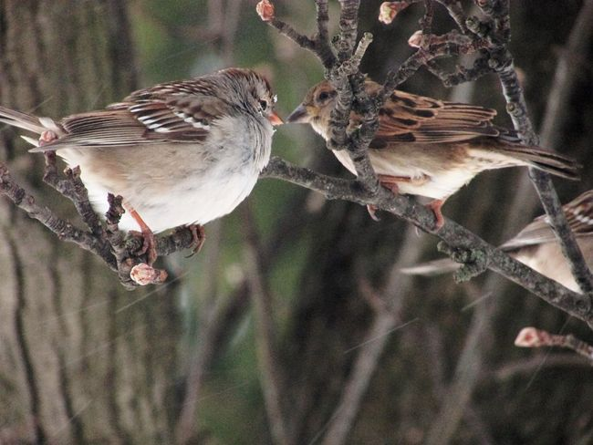 Bird Animals In The Wild Animal Wildlife Animal Themes Branch Sparrow Perching Animal Outdoors Day Nature No People Close-up Beauty In Nature Branches Trees Winter