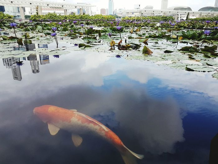 Fish Carp Reflections In The Water Carp In Water Lotus Pond