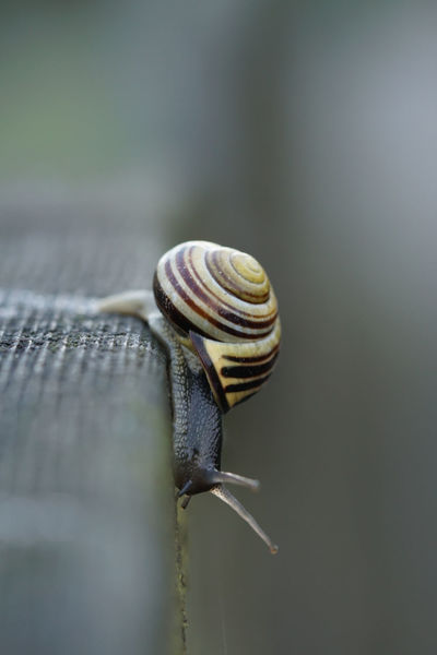 Brown-lipped snail climbing down a fence Animal Shell Animal Themes Animal Wildlife Animals In The Wild Brown-lipped Snail Climbing Close-up Creeping Day Down Downwards Fragility Gastropod Grove Snail Nature No People One Animal Outdoors Shell Side View Slimy Slug Snail Spiral Wildlife