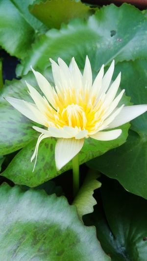 TakeoverMusic Flower Beauty In Nature Nature Freshness Leaf Flower Head Water Lily Plant Petal Lotus Water Lily Fragility Growth Green Color Water Floating On Water Yellow Outdoors Lily Pad Close-up Pollen My Year My View Capture Berlin