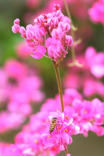 Bee with pink flower Pink Color Insect Flower Head Petal Outdoors Nature One Animal Beauty In Nature Flower Springtime In The Morning Worker EyeEmNewHere
