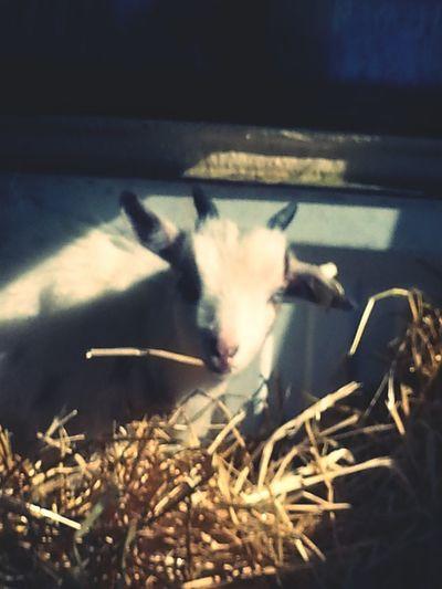 Livestock Domestic Animals Goat I Capture Every Moment ❤ Taken At My House Farmlife Fainter Cross