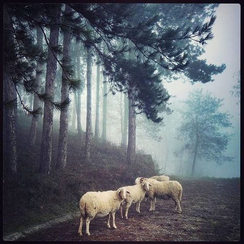 SHEEPS Sheeps Sheep Nofilters Kosovo Blinaja Nature Photography Picoftheday Ramification Colors Tree Forest Pinaceae Standing Fog Moose Animal Themes Sky Going Remote