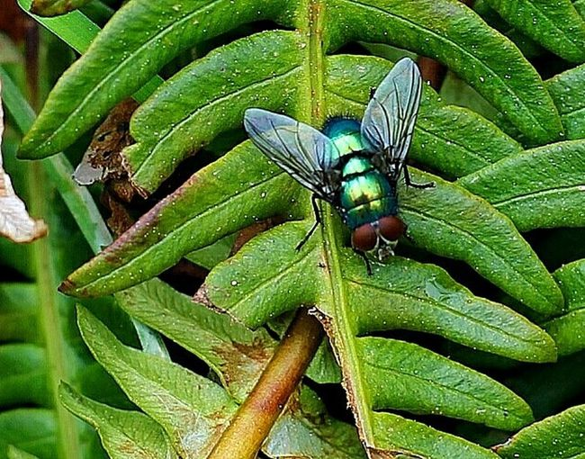 Fly Insect Animals In The Wild Animal Themes One Animal Green Color Animal Wildlife Leaf Nature Outdoors Day No People Close-up Green Fly