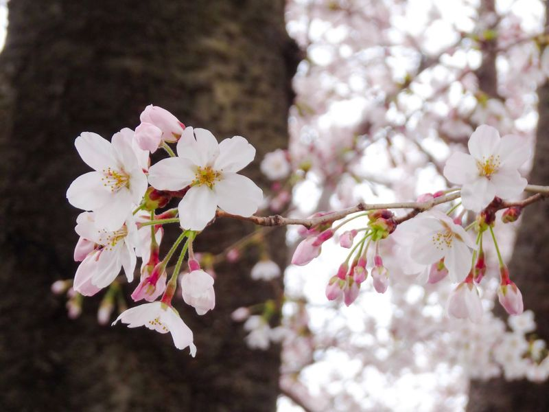 Spring is coming! 🌸 Spring Spring Flowers Flower Cherry Blossoms Sakura Nature Blooming Petal Beauty In Nature Springtime Pink Color Tree No People Day