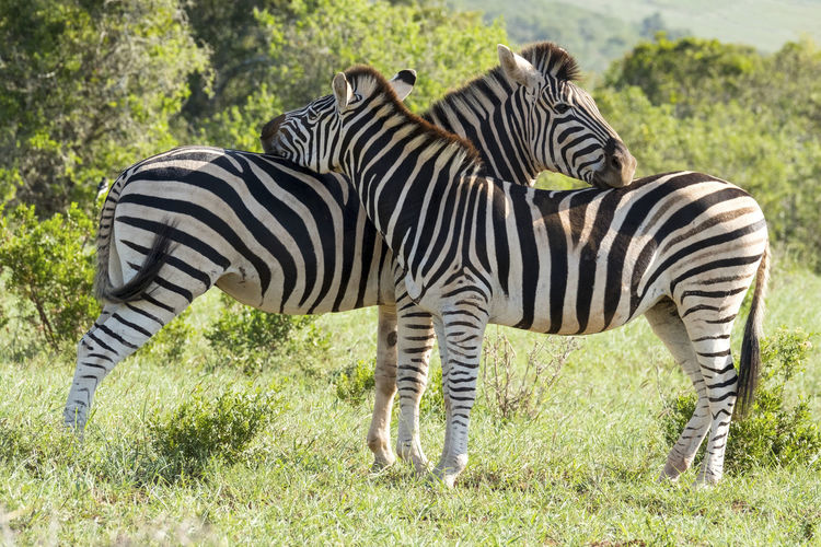 Animal Themes Animal Wildlife Animals In The Wild Beauty In Nature Day Full Length Grass Happy Together   Love Nature Photography Mammal Nature Naturelovers No People Outdoors Safari Animals Standing Striped Togetherness Zebra Zebra Love Zebras Eyemnewhere