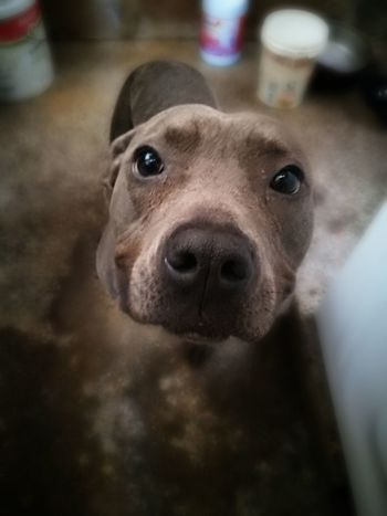 Domestic Animals Pitbull Dog  Pitbulllovers Pitbull Pitbull♥ Pit Bull Terrier Dog Pitbull Blue Pitbull Lover PitBullNation