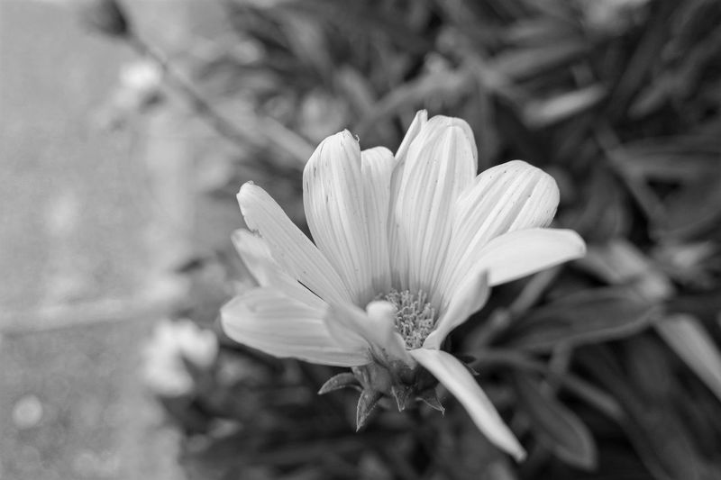 Close-up Flower Freshness Flower Head Beauty In Nature Nature Selective Focus Single Flower Monochrome Photography Flowers,Plants & Garden Flower Collection Plants Collection Canon Powershot G9X Beauty In Nature Monochromatic Monochrome Black&white Blackandwhite Photography Black And White Nostalgic Place Blackandwhite Streetphotography Road
