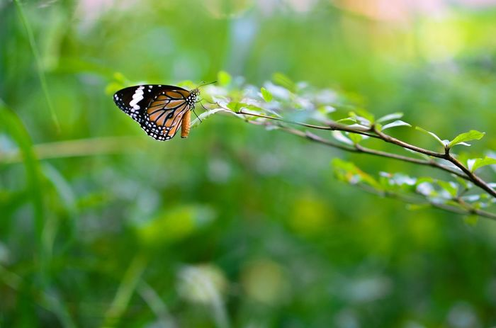 Animal Themes Animal Wing Animals In The Wild Beauty In Nature Butterfly Close-up Day Flower Focus On Foreground Fragility Freshness Green Green Color Growth Insect Nature No People One Animal Outdoors Plant Pollination Wildlife Zoology