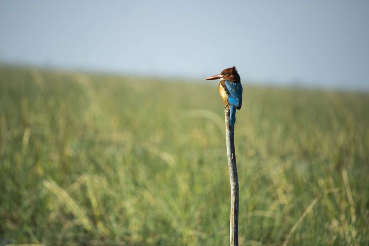 Kingfisher seated on the branch