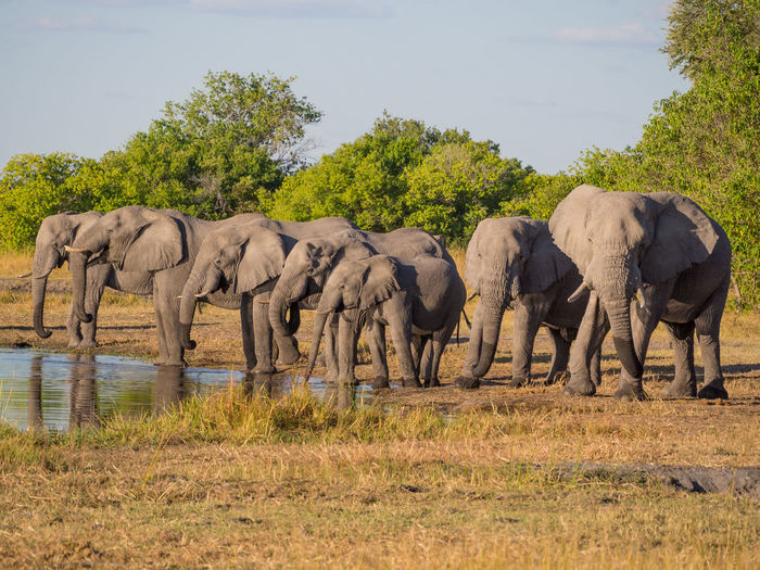 Large group of african elephant drinking from river kwai, moremi game reserve, botswana, africa