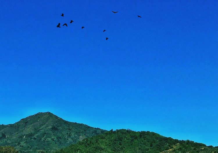 Mt. Tamalpais Mountain Marin County CA Larkspur Blue Flying Bird Animals In The Wild Large Group Of Animals Animal Themes Clear Sky Flock Of Birds Beauty In Nature Low Angle View Outdoors No People Nature Animal Wildlife Day Sky Migrating Mid-air Scenics My Mountain