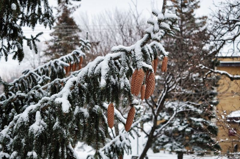 Winter Cold Temperature Snow Tree Plant Focus On Foreground Nature Day Beauty In Nature Covering No People Branch White Color Land Tranquility Frozen Outdoors Growth Close-up Snowing