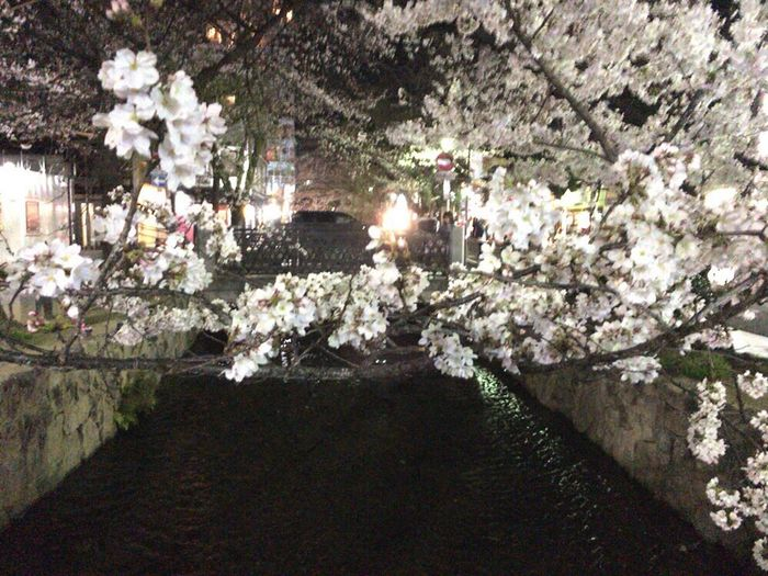 Sakura Kyoto City Kyoto,japan Spring Lights Kyoto NIght Lights Kyoto Night Sakura Kyoto Springs Kyoto Sakura 2018 Cherry Blossoms Flower Blossom Tree Springtime Fragility Beauty In Nature Stories From The City