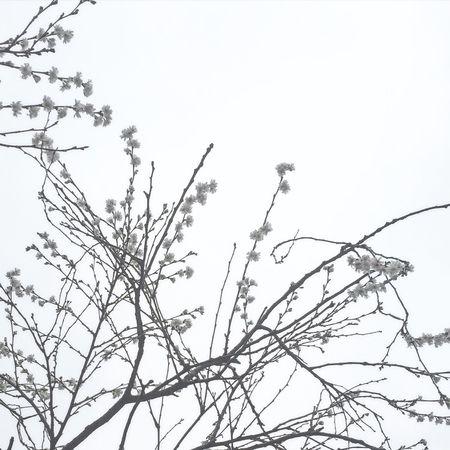 Early Blossoms Blossoms  Flowers Flower Tree Denmark Copenhagen Copenhagen, Denmark Late Winter
